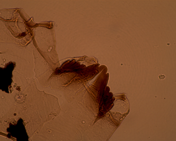 14DXAP01_545mm_Thienemanniella